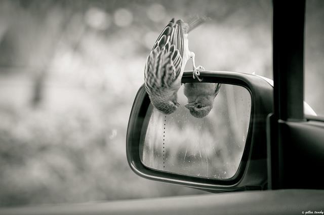 bird-looking-in-rear-view-mirror